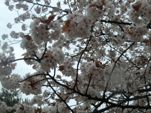15.4.11桜